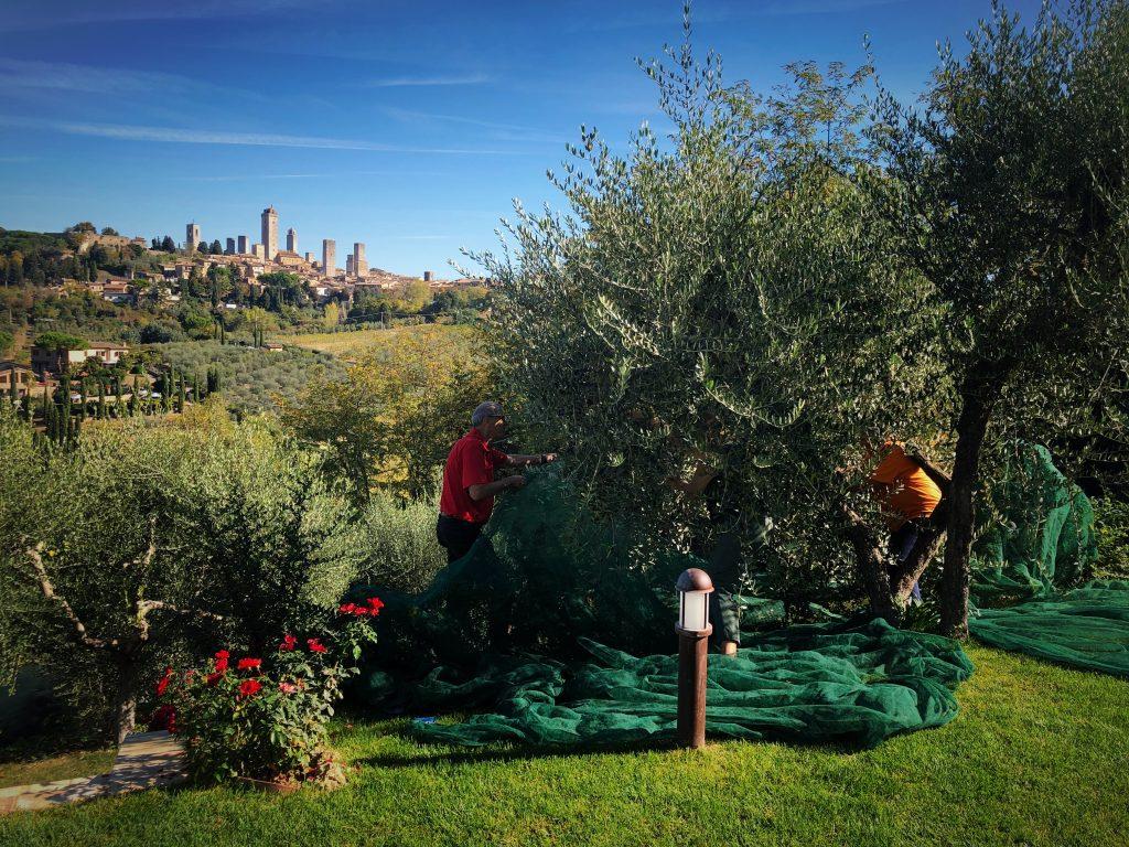 Raccolta delle olive in famiglia